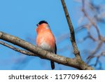 european or common bullfinch ... | Shutterstock . vector #1177096624