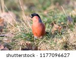 eurasian or common bullfinch ... | Shutterstock . vector #1177096627