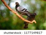 birds and animals in wildlife.... | Shutterstock . vector #1177149817