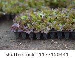 lettuce seedling in soil. ... | Shutterstock . vector #1177150441