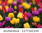 Small photo of Tulips blooming in show garden in Skagit Valley, WA including Pinocchio variety