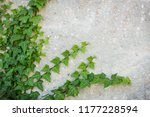 common ivy climbing rustic... | Shutterstock . vector #1177228594