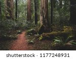 Redwood Forest  California Usa  ...
