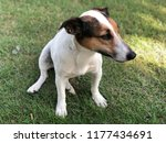 sitting jack russel dog on the... | Shutterstock . vector #1177434691