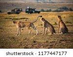 cheetah family surveying the...   Shutterstock . vector #1177447177