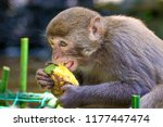 monkeys running around in the... | Shutterstock . vector #1177447474