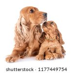 puppy cocker spaniel and mother ... | Shutterstock . vector #1177449754