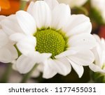 garden flower close up studio... | Shutterstock . vector #1177455031