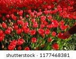 woman in tulip garden | Shutterstock . vector #1177468381