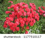 red rose flowers on the rose... | Shutterstock . vector #1177510117