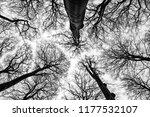 looking up in beech forest  ... | Shutterstock . vector #1177532107