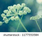big flower of wild angelica... | Shutterstock . vector #1177553584