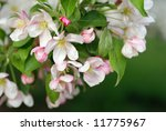 Crabapple blossoms in evening sunlight.  Macro with extremely shallow dof. - stock photo