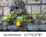 yellow quince fruit against... | Shutterstock . vector #1177614787