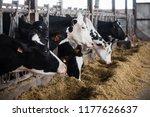 milk cows in breeding farm  | Shutterstock . vector #1177626637