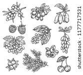 berries sketch of raspberry ... | Shutterstock .eps vector #1177717531