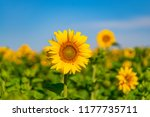 Sunflowers Grow In The Field I...