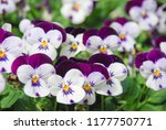 Heartsease  Viola  Or Violet....