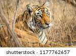 wild bengal tiger  panthera... | Shutterstock . vector #1177762657