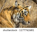 wild bengal tiger  panthera... | Shutterstock . vector #1177762681