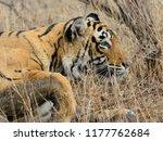 wild bengal tiger  panthera... | Shutterstock . vector #1177762684