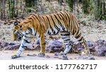 wild bengal tiger  panthera... | Shutterstock . vector #1177762717