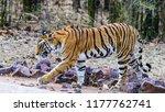 wild bengal tiger  panthera... | Shutterstock . vector #1177762741