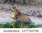 wild bengal tiger  panthera... | Shutterstock . vector #1177762744