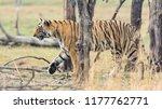 wild bengal tiger  panthera... | Shutterstock . vector #1177762771
