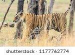 wild bengal tiger  panthera... | Shutterstock . vector #1177762774