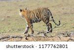 wild bengal tiger  panthera... | Shutterstock . vector #1177762801