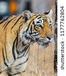 wild bengal tiger  panthera... | Shutterstock . vector #1177762804