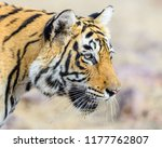 wild bengal tiger  panthera... | Shutterstock . vector #1177762807