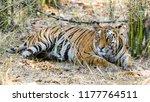 wild bengal tiger  panthera... | Shutterstock . vector #1177764511