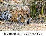 wild bengal tiger  panthera... | Shutterstock . vector #1177764514