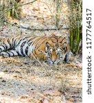 wild bengal tiger  panthera... | Shutterstock . vector #1177764517