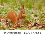 brown squirrel sitting in grass ... | Shutterstock . vector #1177777651