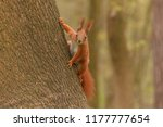 brown squirrel sitting on trunk ... | Shutterstock . vector #1177777654
