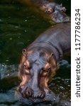 two hippopotamus in a river   Shutterstock . vector #1177786234
