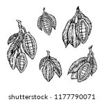 cocoa beans isolated on white... | Shutterstock .eps vector #1177790071
