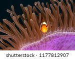 the clown anemone fish in the... | Shutterstock . vector #1177812907