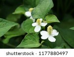 chameleon plant or houttuynia... | Shutterstock . vector #1177880497