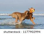 vizsla and weimarner dog... | Shutterstock . vector #1177902994