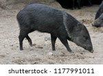 collared peccary  pecari tajacu ... | Shutterstock . vector #1177991011