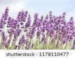 lavender  lavandula... | Shutterstock . vector #1178110477