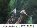 the giraffe  giraffa  is a... | Shutterstock . vector #1178173531