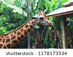 the giraffe  giraffa  is a... | Shutterstock . vector #1178173534
