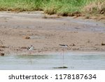 two black necked stilts at the... | Shutterstock . vector #1178187634