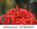 beautiful spike flower blooming ... | Shutterstock . vector #1178206351