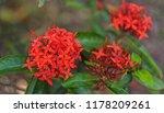 beautiful spike flower blooming ... | Shutterstock . vector #1178209261